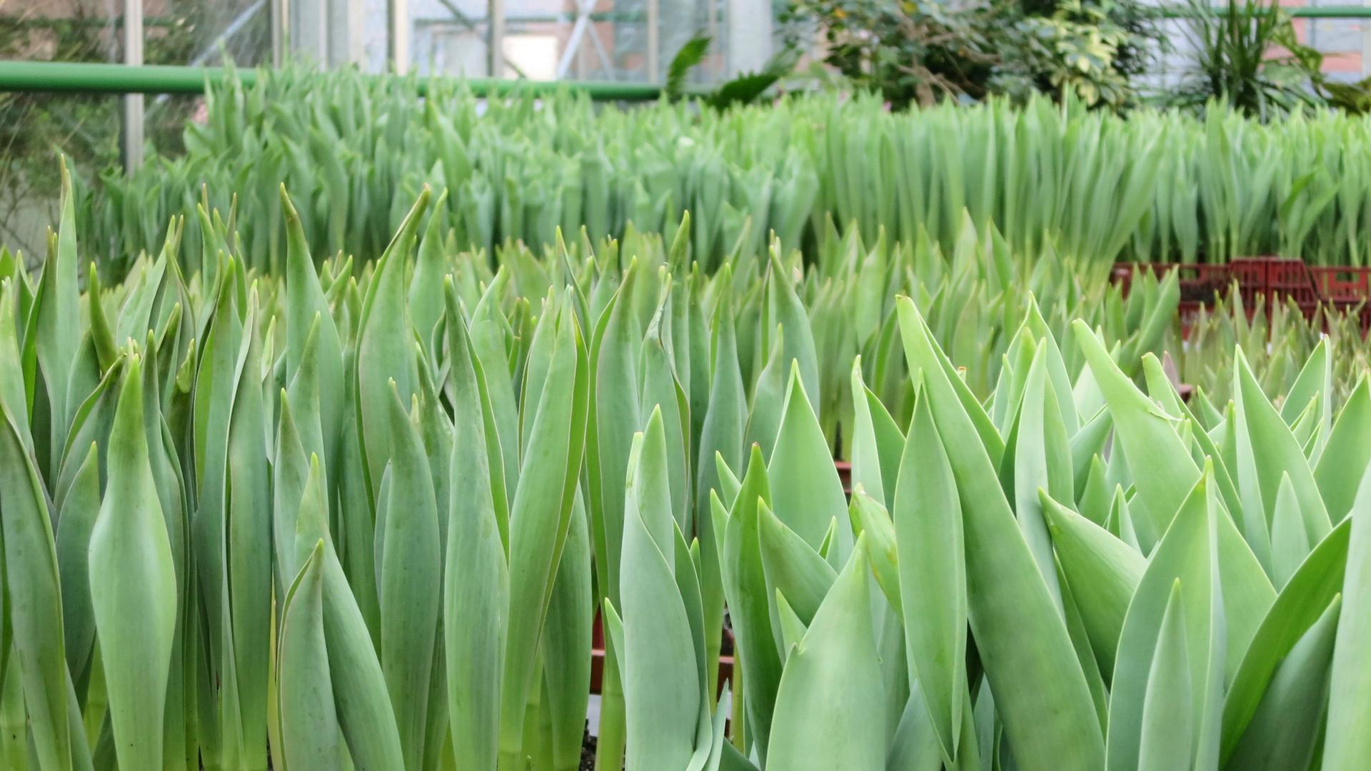 frische-tulpen.jpg