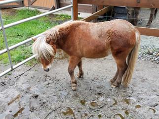 Tempi the mini horse