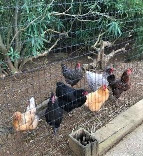 Chicken Sitter