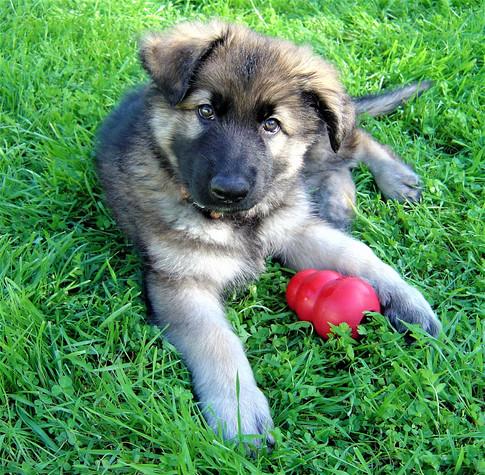 Puppy Odin