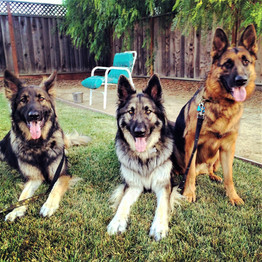 Studly Shepherds