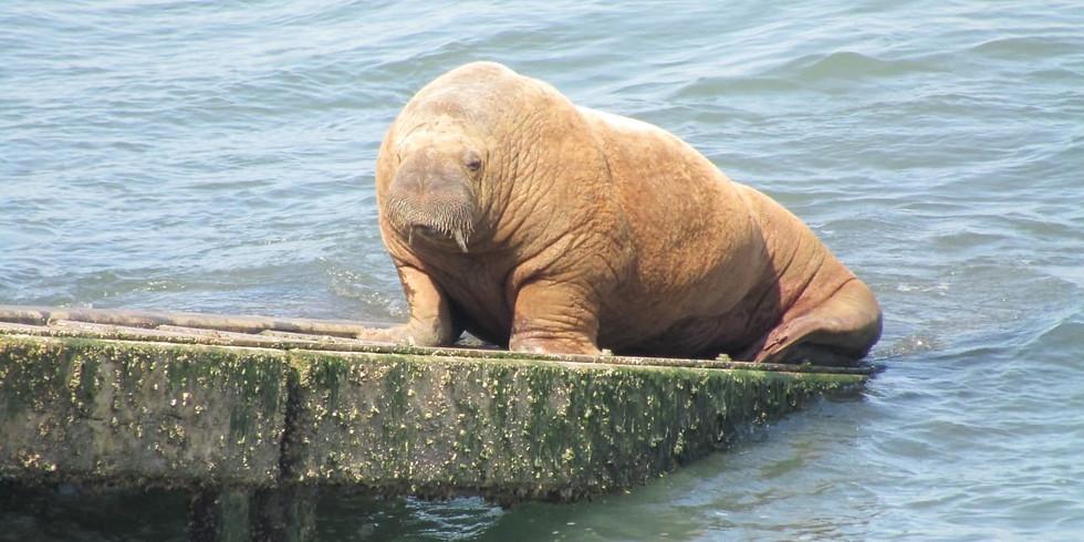 The Walrus Walk