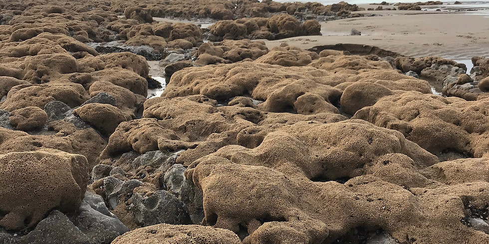 Honeycomb Worm Reef Discovery CANCELLED