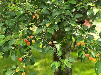 kersenboom lb.jpg