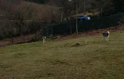 Husky's op het speelveld dollen met elkaar