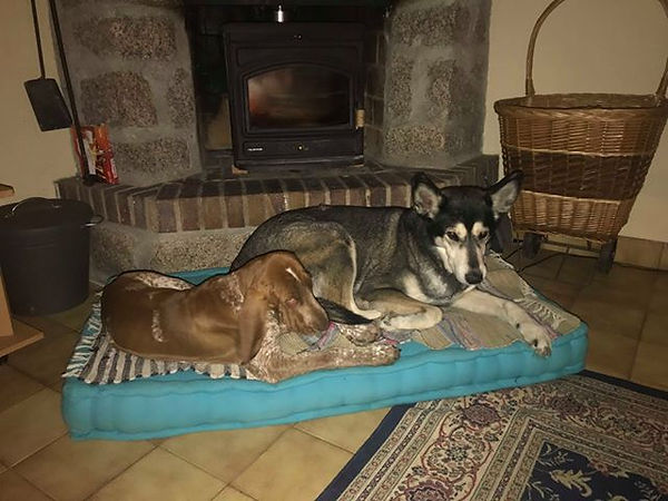 Bracco Italiano Pup Bruna met Alaskan Hu