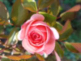 roos in bloei tuin PB 21 oktober 2018.jp