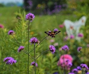 DSC_0372 1000 (3) Hummingbird moth.jpeg