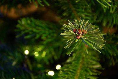 fir-tree-3875734_960_720.jpg
