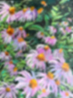 Purple Cone Flowers2.jpg
