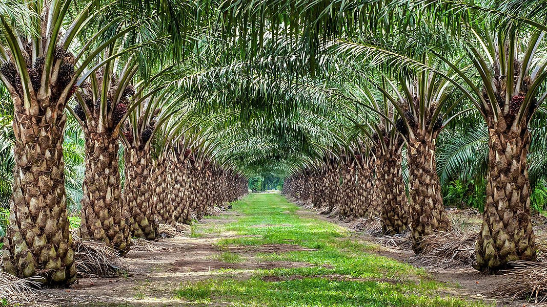 Golden Palm Oil Supplier of cooking oil in Malaysia
