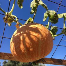 Trellised Pumpkins