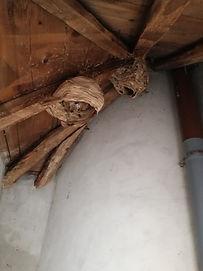 identification d'un nid de guêpes frelon loire