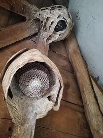 nid de frelon, intervention dans le Forez