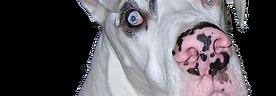White Great Dane, Casper