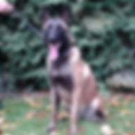Educateur canin dans l'Eure, en Normandie, Patrice Foucault vous propose des formations d'éducation canine, la vente de chiot berger belge malinois, ainsi qu'un service de pension canine et pension féline