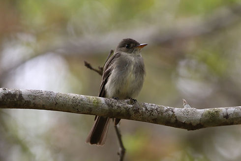 An Eastern Wood Pewee perched on a branch.