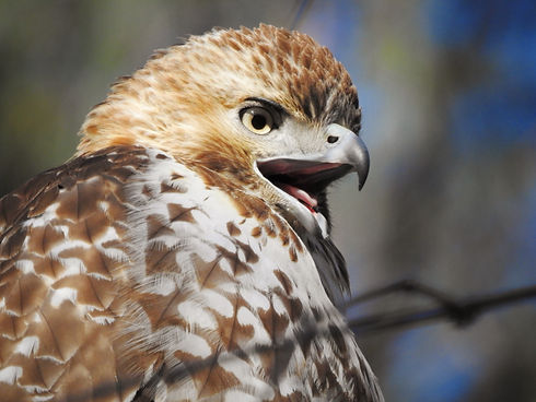A Red-tailed Hawk screaming.