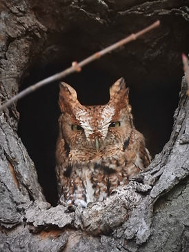 An Eastern Screech Owl in a tree cavity.