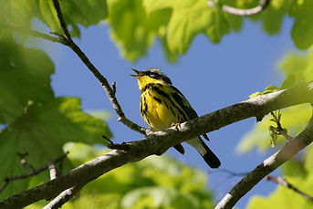 A bright Magnolia Warbler singing in a tree in spring.