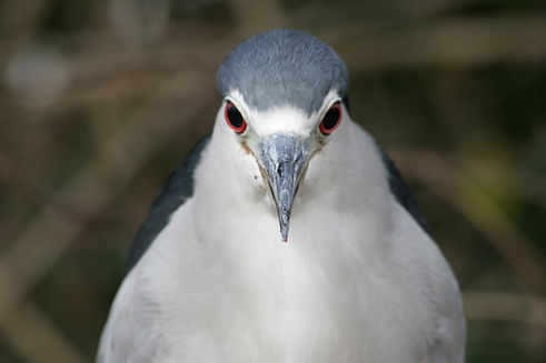 A Black Crowned Night Heron staring straight at you.
