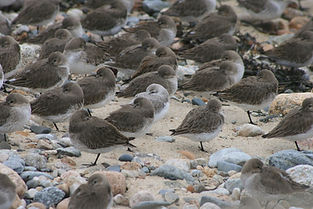 A group of Sanderlings on the beach, tucking their faces into their wings to rest.
