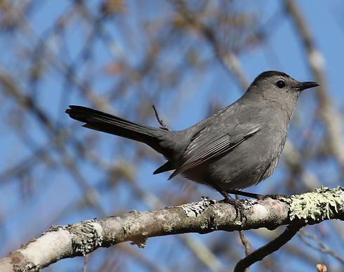 A Gray Catbird perched on a lichen-y branch.