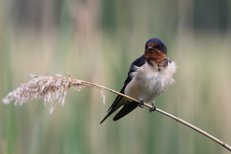 A Barn Swallow perched on a reed.
