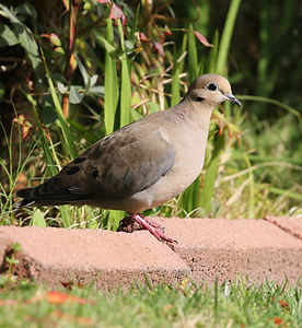 A Mourning Dove standing on some pink paving stones.