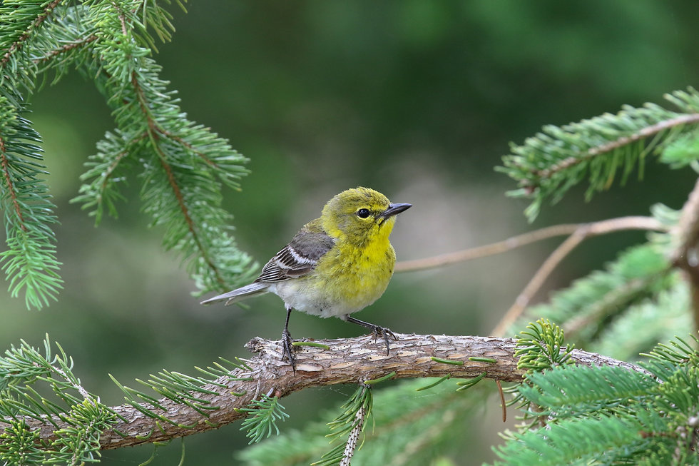 A Pine Warbler perched in a conifer tree.