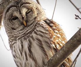 A Barred Owl's face.