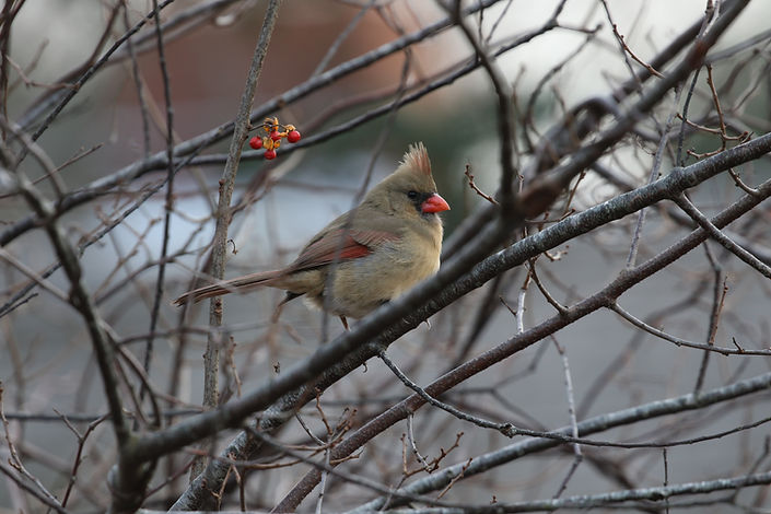 A Northern Cardinal female perched in some gray branches near red berries.