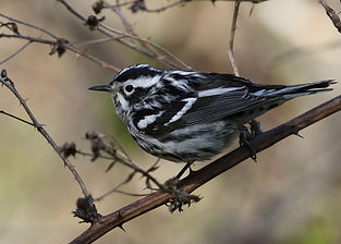 A male Black and White Warbler perched on a thorny branch.