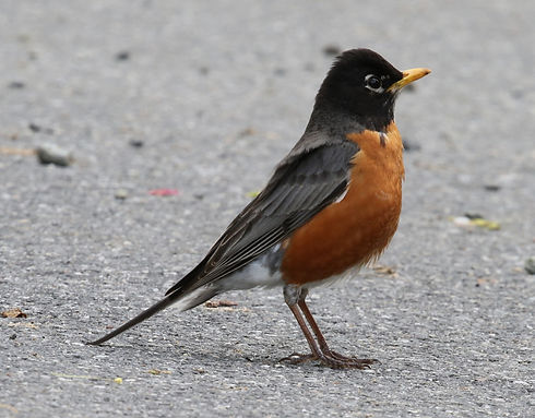 An American Robin standing on cement.