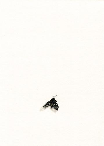 Weißfleck-Widderchen