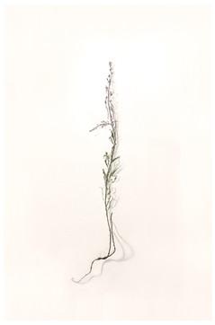 Schmalblättriges Weidenröschen