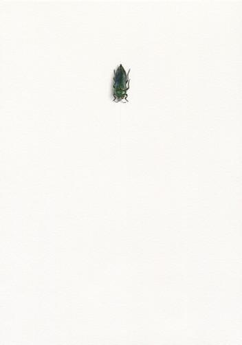 Eurythyrea austriaca