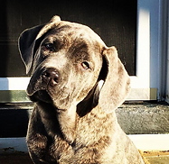 Blue brindle female Cane Corso