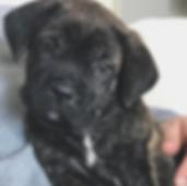 Black brindle male Cane Corso puppy