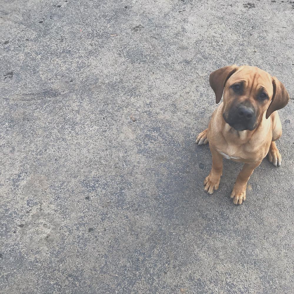Sugar Cane Corso Cane Corso puppy