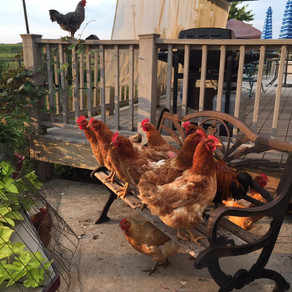 Around the Farm: Meeting the Hens