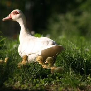 Around the Farm: Mamma Duck
