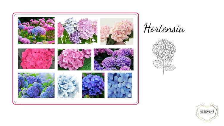 Hortensia.jpg
