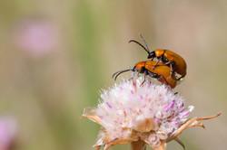 Escaravelhos