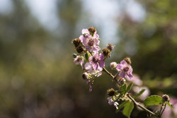 2017-06-17 Silva (Rubus ulmifolius) CV