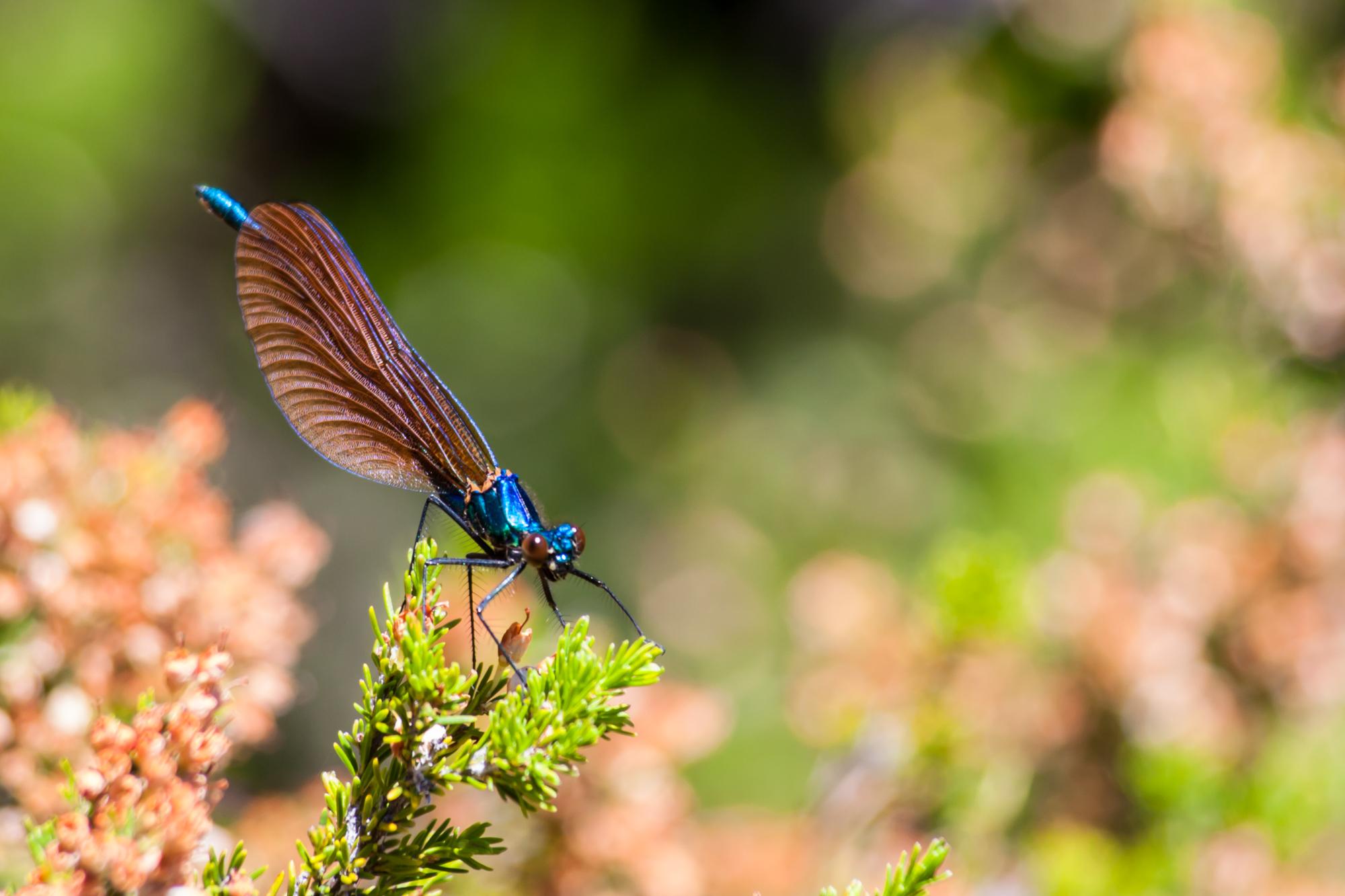 2014-07-05 Libelinha (Calopteryx xanthostoma) (1)
