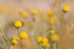 2015-06-27 Flor (Santolina semidentata) SE (1)