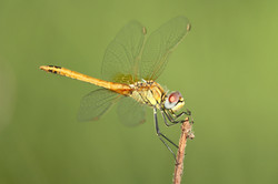 2013-08-20++Sympetrum+fonscolombii+(4)