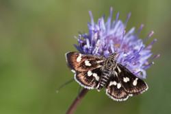 Eurrhypis pollinalis