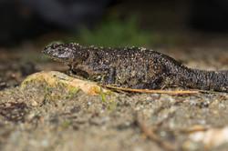 Salamandra Costelas Salientes